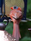 Bald Lizard-Head Cardinal
