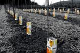 New vines planted