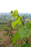 new growth on the vines