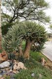 Captive Aloe dichotoma Etosha National Park, Namibia