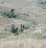 Cyathea dregei. Malolotja Nature Reserve, Swaziland