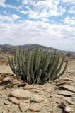 Euphorbia spp, Namib desert, Namibia.