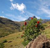 Greyia sutherlandii.  Drakensburg Mountains, South Africa