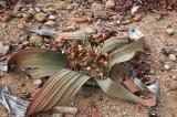 Weltwischia mirabilis (female). Twyfelfontein, Namibia.