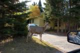 Deer in The Banff City