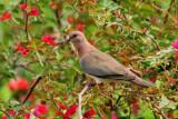 03 - Laughing Dove - Streptopelia senegalensis