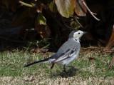 04 - White Waigtail - Motacilla alba