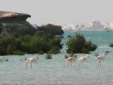 11 - Greater Flamingo - Phoenicopterus Ruber