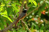 43 - Common Redstart Phoenicurus phoenicurusemi