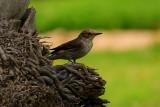 50 Spotted Flycatcher - Muscicapa striata