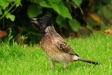 56  Red vented Bulbul - Pycnonotus cafer