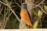 57 Rufous-tailed Rock - Thrush Monticola Saxatilis