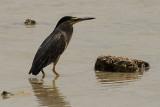62 Little Heron - Butorides Striatus