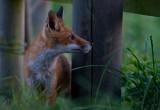 Iso 8000, Wild fox