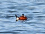 male Ruddy Duck