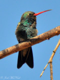 Hummingbirds & Swifts