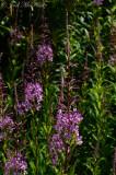 Fireweed: Chamerion platyphyllum (Epilobium angustifolium)