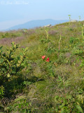 Gray's Lily: Lilium grayi, habitat