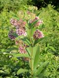 Common Milkweed: Asclepias syriaca