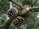 Table Mountain Pine: Pinus pungens, mature cones
