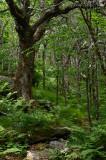Dwarf beech/birch ridgetop forest