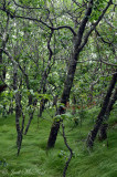 Dwarf beech/birch ridgetop forest with dense sedge understory