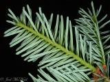 Fraser Fir: Abies fraseri, underside of needles