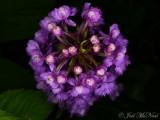 Small Purple Fringed Orchid: Platanthera psycodes