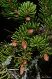Red Spruce: Picea rubens, spent male strobili