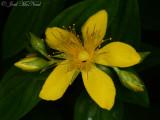 Mountain St.-John's-wort: Hypericum graveolens