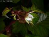 Red Raspberry: Rubus idaeus var. strigosus