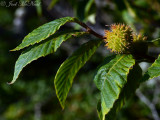 American Beech: Fagus grandifolia