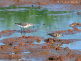 Semipalmated and Least Sandpipers