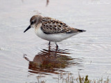 Semipalmated Sandpiper- Etowah Indian Mounds
