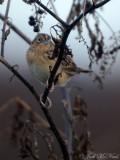 Grasshopper Sparrow: Sam Smith Park, Bartow Co., GA