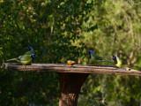 Green Jays: Salineño, TX