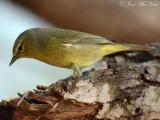 Orange-crowned Warbler: Oreothlypis celata, Salineño, TX
