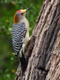 male Golden-fronted Woodpecker: Salineño, TX