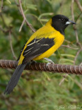 Audubon's Oriole: Salineño, TX