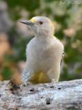 female Golden-fronted Woodpecker: Salineño, TX