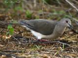 White-tipped Dove: Leptotila verreauxi, Salineño, TX