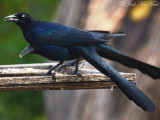 Great-tailed Grackle: Quiscalus mexicanus, Salineño, TX