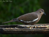 White-winged Dove: Salineño, TX