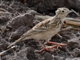 Sprague's Pipit: Willacy Co., TX