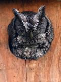 McCall's Eastern Screech-owl: Estero Llano Grande State Park, Hidalgo Co., TX