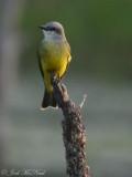 Tropical Kingbird: Estero Llano Grande State Park