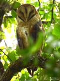 Barn Owl: Tyto alba,Estero Llano Grande State Park