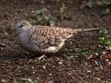 Inca Dove: Columbina inca, Estero Llano Grande State Park
