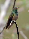 Buff-bellied Hummingbird: Amazilia yucatanensis, Estero Llano Grande State Park