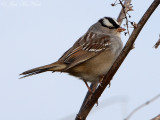 White-crowned Sparrow; Bartow Co., GA